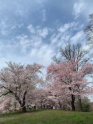 Flowering trees in Central Park, New York City