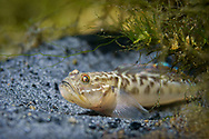 Clown Goby<br /> <br /> Isaac Szabo/Engbretson Underwater Photography