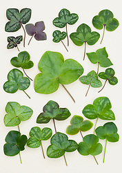 Hepatica leaves from Japan laid out on a white background.