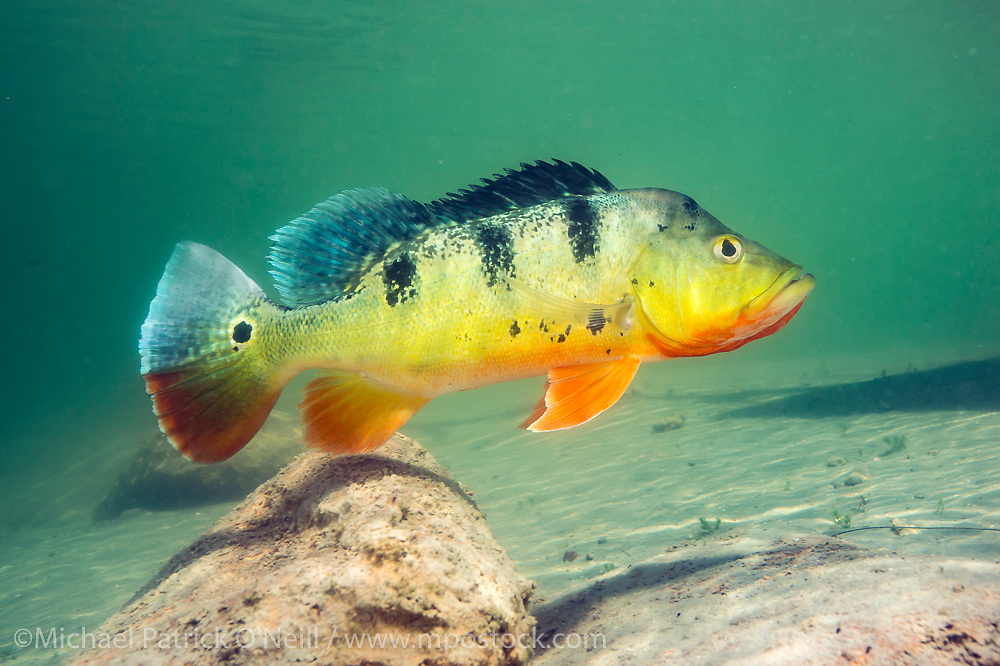A Peacock Bass, Cichla sp., guards its territory in a Miami, FL freshwater lake. This tropical freshwater species, also known as the Peacock Cichlid, was intentionally introduced in Florida in the mid 1980s from South America to control the Tilapia population, another invasive species. Throughout its native range (and in Florida) it's a prized sportfish.