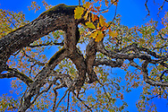 Looking up at at the contorted branching of an autumn Garry Oak, (Quercus garryana), Klickitat County, WA, USA
