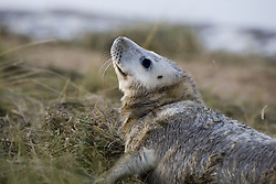 July 21, 2019 - Seal In Grass (Credit Image: © John Short/Design Pics via ZUMA Wire)