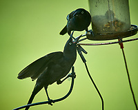 Common Grackle -- Parent feeding Junior. Image taken with a Nikon D5 camera and 600 mm f/4 VR lens.