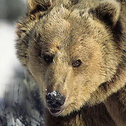 Grizzly Bear portrait of an adult in the Rocky Mountains of Montana during the winter. Captive Animal