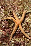 Tan Sea Star.(Phataria unifascialis).Los Cabos,Mexico