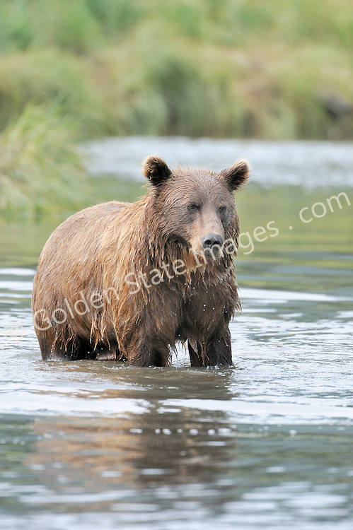 Boar using sedge grass to conceal itself along the creek.  Just prior to making a charge for a salmon.    <br /> <br /> Brown Bears and Grizzly Bears are the same species. In general Bears living within 50 miles of the coast are considered browns. Animals living further inland are considered Grizzlies.  <br /> <br /> Grizzlies are omnivores feeding on a variety of plants berries roots and grasses in addition to fish insects and small mammals. Salmon are a key part of their diet. Normally a solitary animal they will congregate along streams and rivers during Salmon runs. Weight to over 1200 pounds.    <br />  <br /> Range: Native to Asia Africa Europe and North America. Now extinct in much of their original range.    <br />   <br /> Species: Ursus arctos