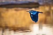 Gråhegre i flukt | The Grey Heron in flight.