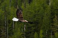 on the level with a alaska bald eagle