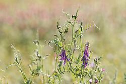 Wildflower in field near Red River, Denison, Texas, USA.
