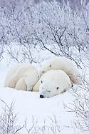 01874-11701 Polar Bears (Ursus maritimus) female and 2 cubs, Churchill Wildlife Management Area,  MB