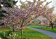 Prunus 'Matsume Hanagurama', cherry blossom in Kew Gardens, London, UK