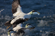 Escaping Comon Eider with food in it's beak | Ærfugl i flukt med mat i nebbet
