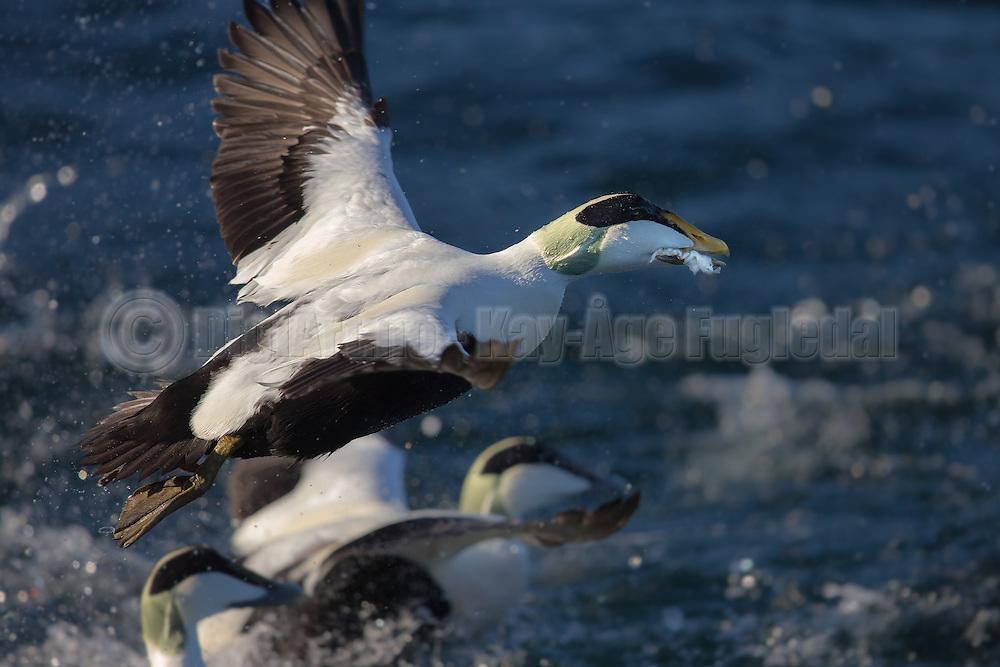 Escaping Comon Eider with food in it's beak | Ærfugl i flukt med mat i nebbet