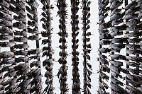 Rows of cod stockfish hang to dry in winter air, Lofoten Islands, Norway