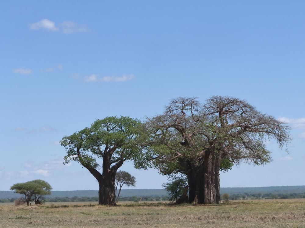 Part of the Tarangire National Park is a flat, grassy landscape dominated by ancient baobab (Adansonia digitata) trees. Tarangire National Park, Tanzania.