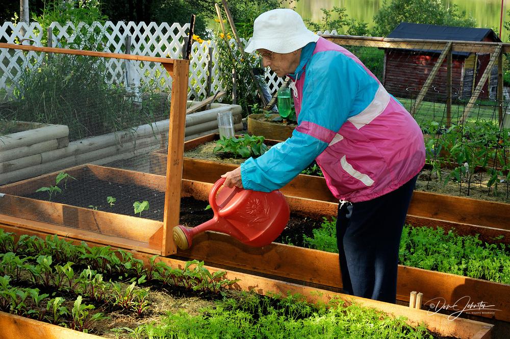 Elderly lady watering her garden, Greater Sudbury, Ontario, Canada
