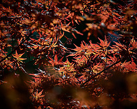 Japanese Maple Leaves and Seed Pods. Image taken with a Nikon D5 camera and 300 mm f/4 lens
