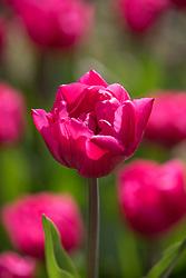 Tulipa 'Queen Jewel'