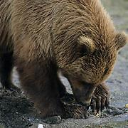 Alaskan Brown Bear, (Ursus middendorffi) Adult digging for clams. Alaskan Peninsula.