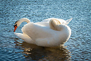 An adult mute swan preens along the edge of the Bell's Neck reservoir in Harwich.