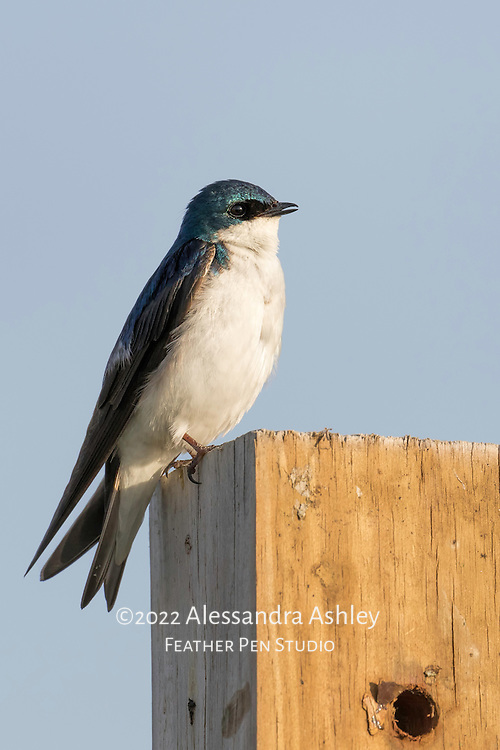 Tree swallow, Tachycineta bicolor, shows iridescent blue-green feathers on sunlit perch in early morning at Ottawa National Wildlife Refuge.