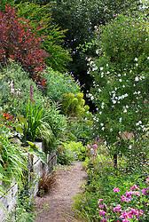 Rosa 'Sander's White' on pergola in Alice's garden at Glebe Cottage. Lobelia tupa on wall to the left