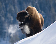 So cold you can see the Bison's breath as it stands on the side of Soda Butte. Soda Butte is in the Lamar valley of Yellowstone National Park.