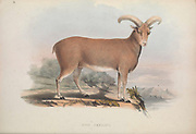 Ovis gmelini (Mouflon - wild sheep) From the book Zoologia typica; or, Figures of new and rare animals and birds described in the proceedings, or exhibited in the collections of the Zoological Society of London. By Fraser, Louis. Zoological Society of London. Published by the author in London, March 1847