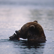 Alaskan Brown Bear, (Ursus middendorffi) Adult feeding on salmon caught in lake. Alaska Peninsula.