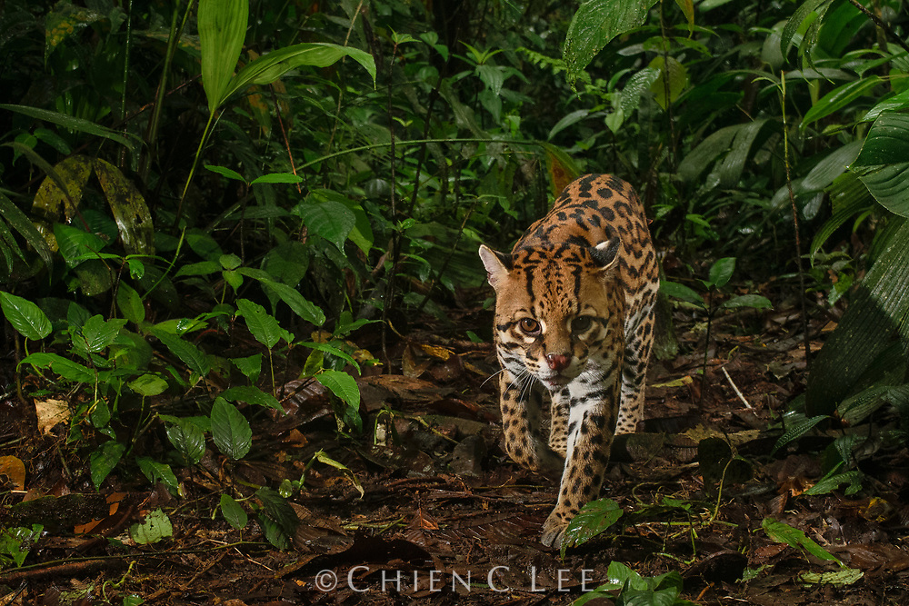 An infrared camera trap captures a male Ocelot (Leopardus pardalis) on his daily hunt for prey in the Chocóan cloud forest of western Ecuador. One of six species of wild cats in this region, the shy and seldom-seen Ocelot is a predator of small animals including birds, rodents, and reptiles. Mashpi Amagusa Reserve, Ecuador.