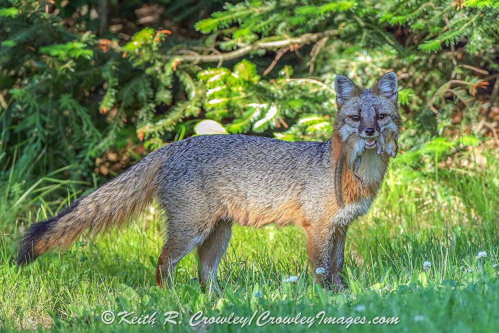 Gray fox carrying prey in summer habitat.