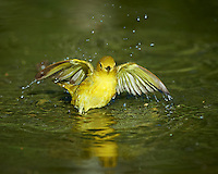 Yellow Warbler Taking a Bird Bath. Southern Texas Birding Safari. Image taken with a Nikon D4 camera and 500 mm f/4 VR lens (ISO 280, 500 mm, f/5,6, 1/600 sec). Raw image processed with Capture One Pro, Focus Magic, and Photoshop CC 2014.