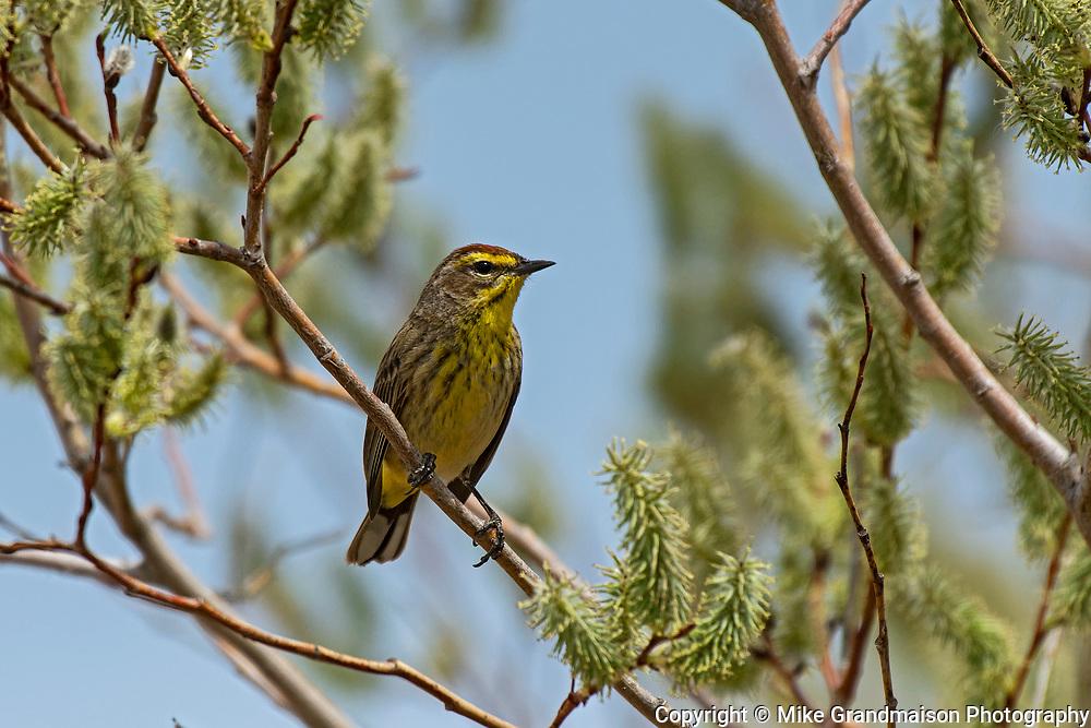 Palm Warbler<br /> (Dendroica palmarum)<br />Willow Island<br />Manitoba<br />Canada