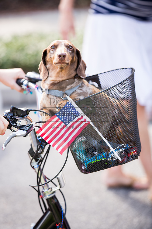 A dog rides in a bicycle basket at residents of I'on community celebrate Independence Day with a bicycle and golf cart parade July 3, 2013 in Mt Pleasant, SC.