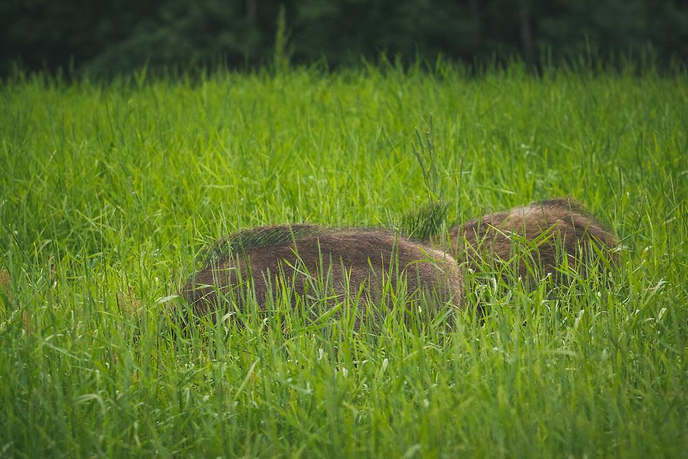 Pair of wild boar (Sus scrofa) feeding in meadow, Northern Vidzeme, Latvia Ⓒ Davis Ulands   davisulands.com