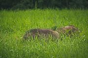 Pair of wild boar (Sus scrofa) feeding in meadow, Northern Vidzeme, Latvia Ⓒ Davis Ulands | davisulands.com