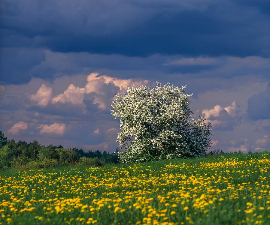 Low clouds over lone apple tree in spring bloom & dandelion field, Ryegate, VT