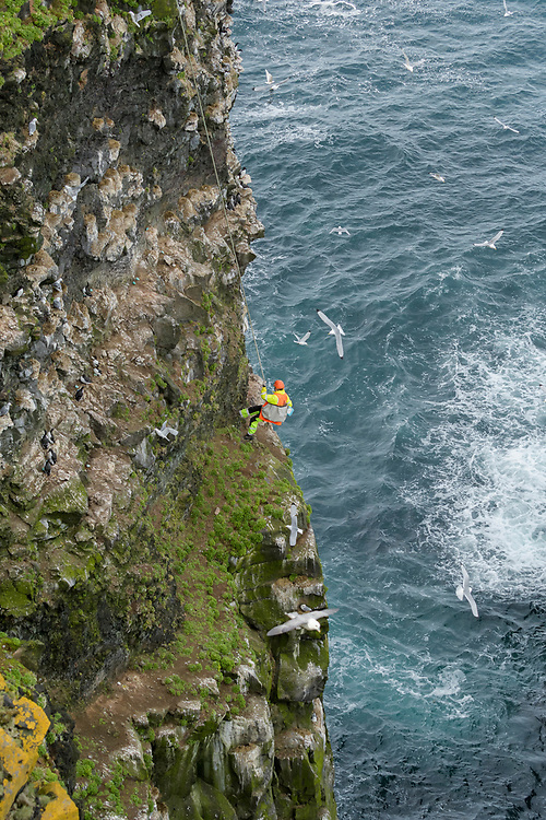 Jón Arnar Beck collecting seabird eggs. Skoruvíkurbjarg cliffs. Langanes Peninsula, Iceland. <br /> <br /> Fisherman Jón Arnar Beck is 38 years old and has been collecting seabird eggs for the past 8. Usually assisted by friend and fellow fisherman Sæmundur Einarsson, Jón may use modern safety harness and radio equipment but the method of collecting cliff-nesting seabird eggs hasn't changed much in a thousand years. The harvesting of seabirds has been continuous Icelandic tradition since early settlement and is mentioned in Norse Sagas. Although no longer necessary for survival, cultural ties to the harvesting of seabirds are strong and vigorously defended. <br /> The cliffs where Jón collects are divided into sectors which are allocated by the local authority in return for a number of eggs to be given to the community. Each sector is harvested 2 or 3 times as the eggs are laid before being left alone for the birds to hatch and raise the next clutch.