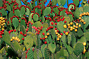 MEXICO, NORTH, ZACATECAS STATE prickly pear cactus known as nopal, with fruit and leaves grown as a traditional  food source