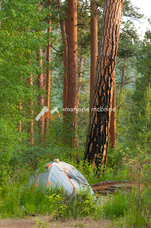 Tent under tall Ponderosa Pines at Stateland Right Camp on the Middle Fork of the Salmon River, Idaho.