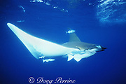 devil ray, Mobula tarapacana, with remoras and pilotfish, Naucrates ductor, Faial, Azores Islands, Portugal ( North Atlantic Ocean )