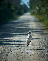 Wood Stork walking on the loop road in Big Cypress Swamp. Image taken with a Nikon D3x camera and 70-200 mm f2.8 lens (ISO 100, 200 mm, f/2.8, 1/2500 sec).
