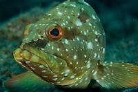 Flag Cabrilla Grouper (Epinephelus labriformis)<br /><br />Canales de Afuera Islands<br />Coiba National Park<br />Panama<br /><br />Wahoo dive site