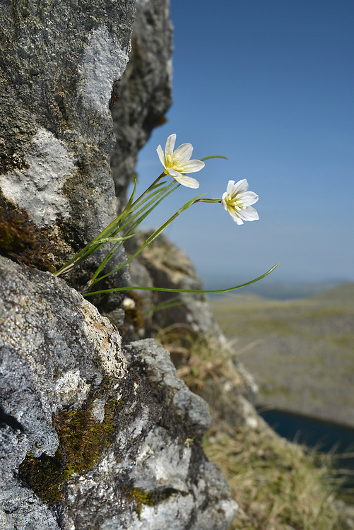Snowdon Lily - Gagea serotina (Llloydia serotina). Height to 12cm. Wiry leaves and cup-shaped flowers 15-20mm across, white with purplish veins (May-July). Restricted, in Britain, to the eponymous mountain range in North Wales, where it is rare and typically found on inaccessible ledges.