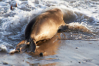 Elephant Seals at Piedras Blancas Beach, Central California Coast. Image taken with a Nikon D3x and 70-300 mm VR lens (ISO 400, 300 mm, f/8, 1/125 sec).