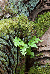 Fern seedling growing in crack of old tree stump with moss and lichen