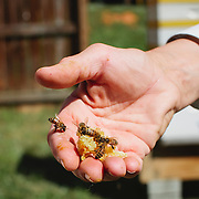 Local Charlotte beekeeper, Libby Mack holds a piece of honeycomb inside a fenced area where she maintains 25 active hives.