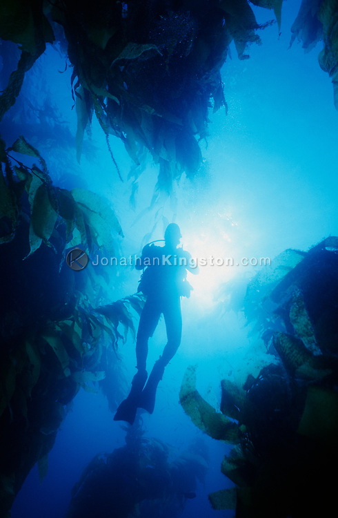 A SCUBA diver swims above a kelp bed, Macrocystis pyrifera, in the waters of the Channel Islands National Park, California. (Model Released)