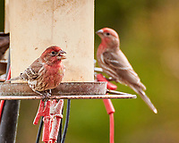 House Finch (Haemorhous mexicanus).  Image taken with a Nikon 1 V3 camera and 70-300 mm VR lens.