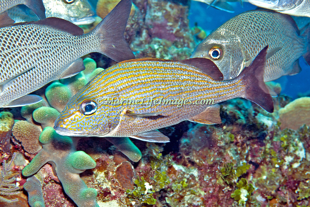 Caesar Grunt inhabit reefs in Tropical West Atlantic; picture taken Little Cayman.